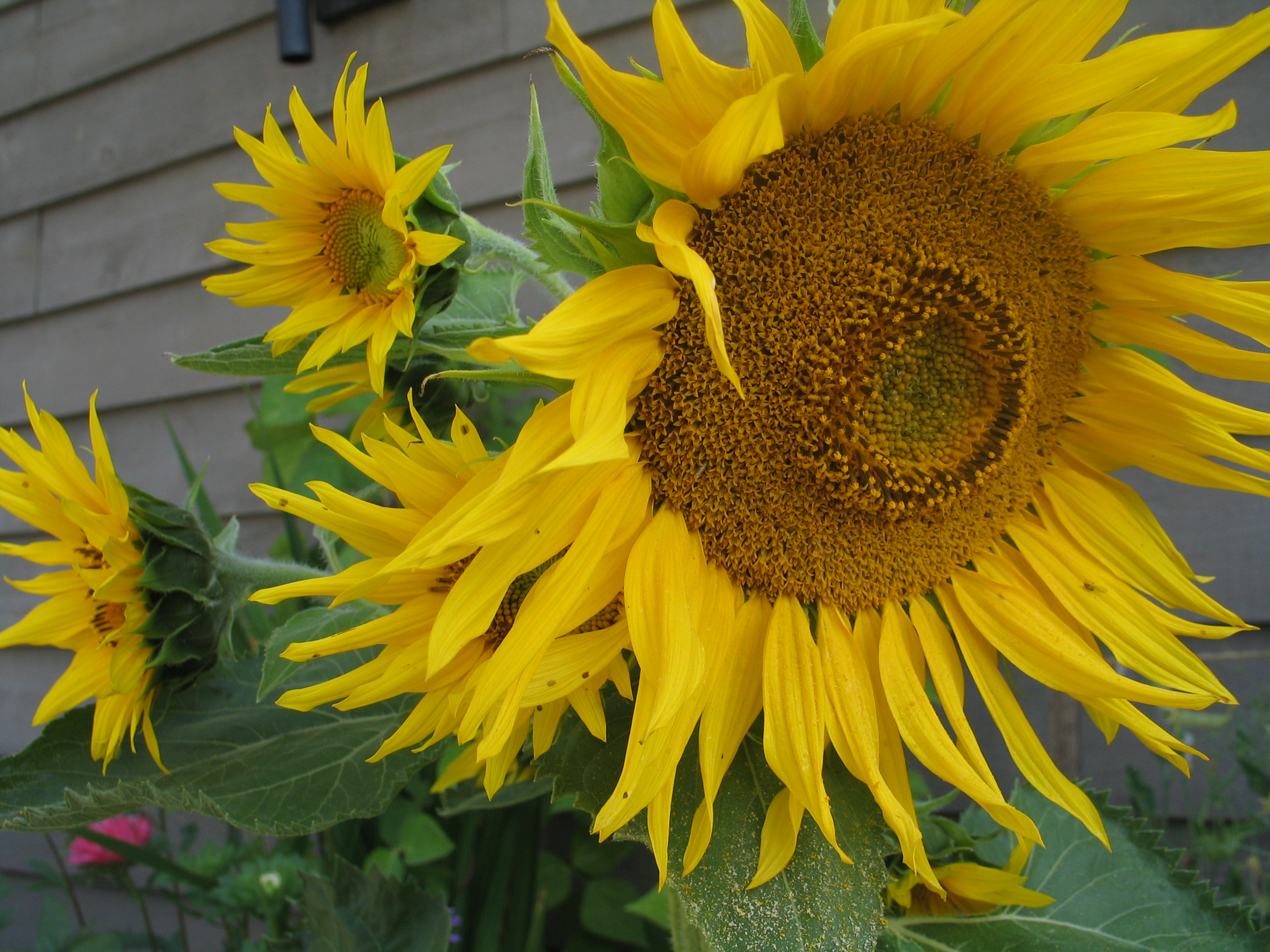 Sunflowers, Fibonacci number sequence and spitals